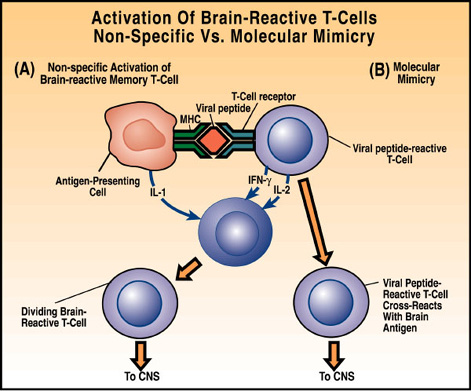 Diagram – Activation of T-cells | Multiple Sclerosis